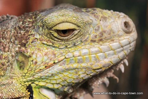 Iguana at Butterfly World, Cape Town