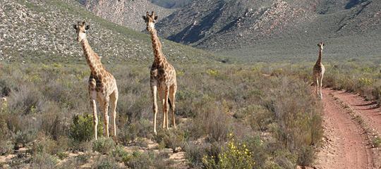 Giraffe at Aquila Private Game Reserve