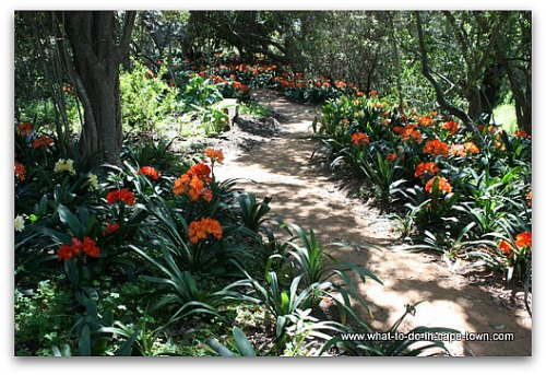 Blooming Clivias at Babylonstoren on the Paarl Wine Route
