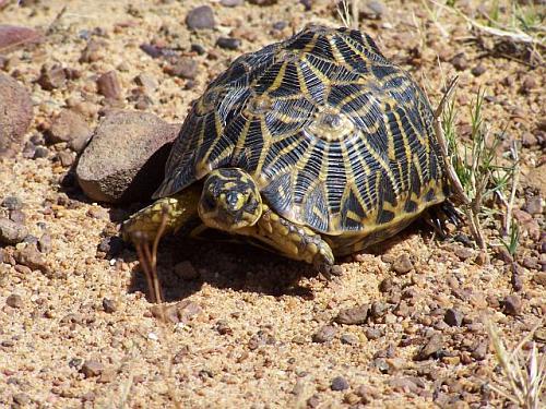 The extremely rare Geometric Tortoise at Bartholomeus Klip