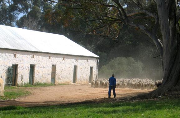 Flock of Merino Sheep at Bartholomeus Klip