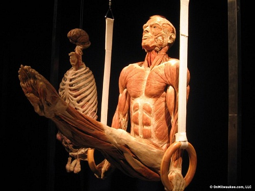 Body Worlds and the Cycle of Life Exhibition