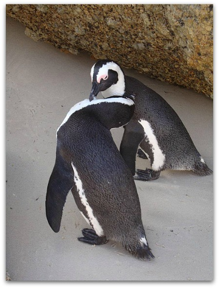 Penguins at Boulders Beach, Simons Town