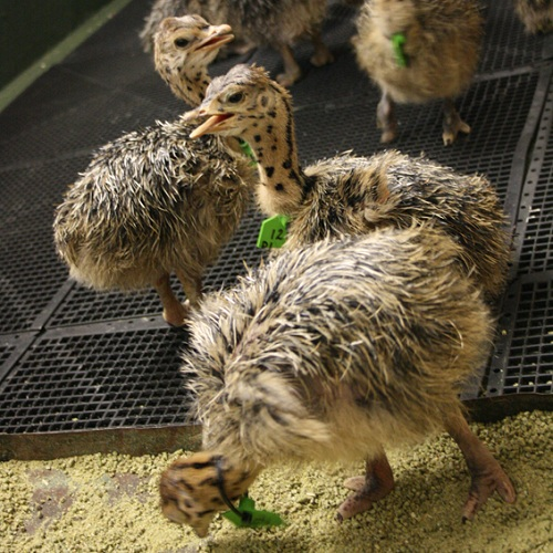 Chicks at Cape Point Ostrich Farm
