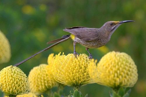 Cape Sugarbird, Wellington
