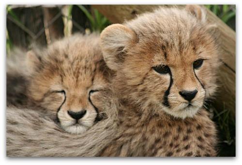 Cheetah Outreach, Somerset West