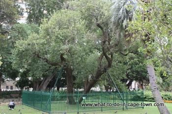 Saffraan Pear Tree, Company Garden