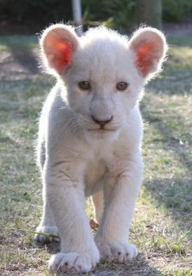 Nala at Drakenstein Lion Park