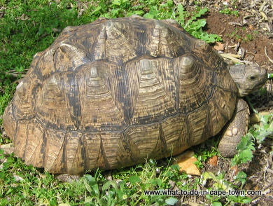Angulate Tortoise in Durbanville Nature Reserve