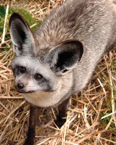 Bat-eared fox at Giraffe House, Cape Town