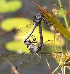 Dragonflies, Harold Porter National Botanical Garden
