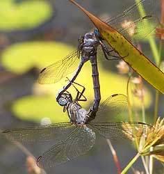 Dragonflies, Harold Porter National Botanical Garden