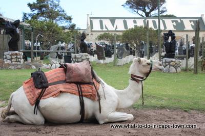 Camel Rides at Imhoff Farm