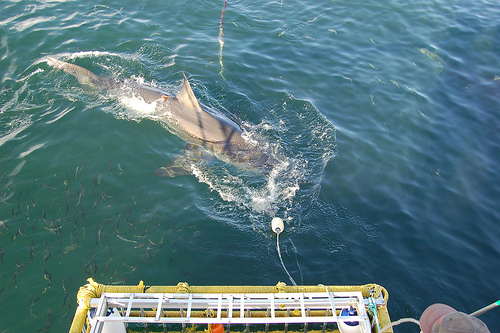 Shark Cage Diving, Cape Town