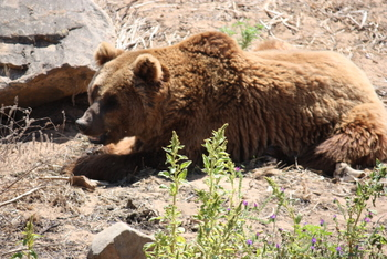 Brown Bear, Tygerberg Zoo, Cape Town