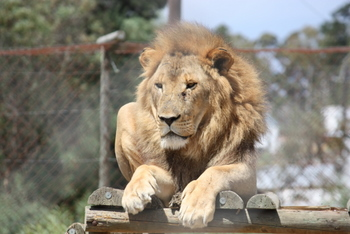 Male Lion, Tygerberg Zoo, Cape Town