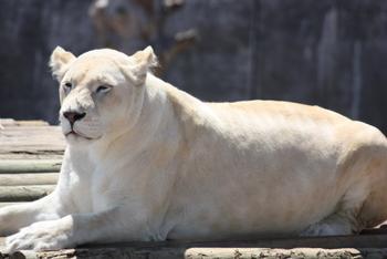 White Lion, Tygerberg Zoo, Cape Town