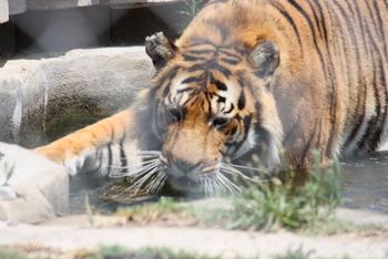 Tiger, Tygerberg Zoo, Cape Town