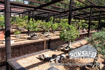 Bonsai exhibition at the US Botanical Garden, Stellenbosch