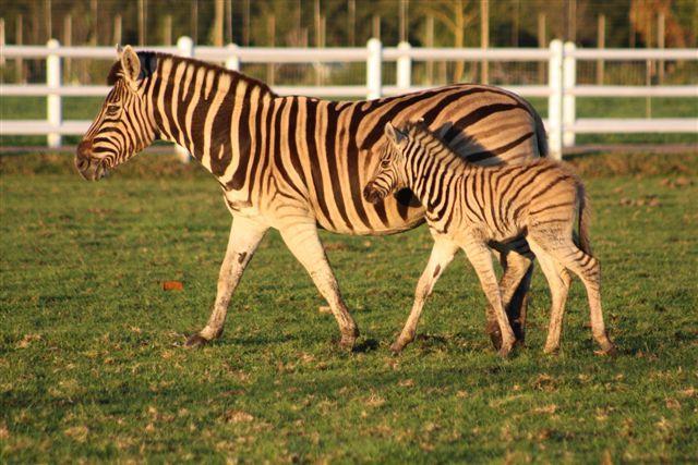 Zebra, Vredenheim Wine Farm, The Stellenbosch Wine Route, Cape Town