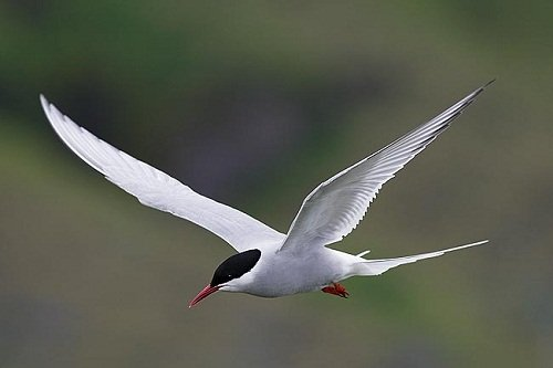 Arctic Tern, Cape Town Birds and Birding.