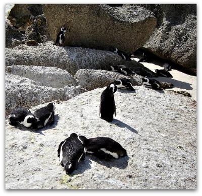 Penguins at Boulders Beach, Simons Town