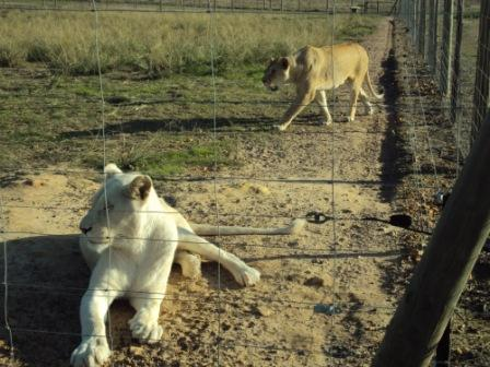 Drakenstein Lion Park, Cape Town