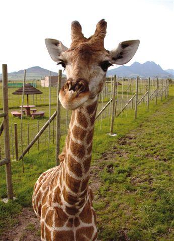 Gerry the giraffe at Giraffe House