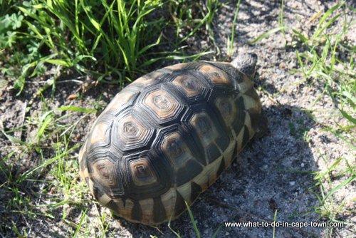 Tortoise at Intaka Island Bird Sanctuary