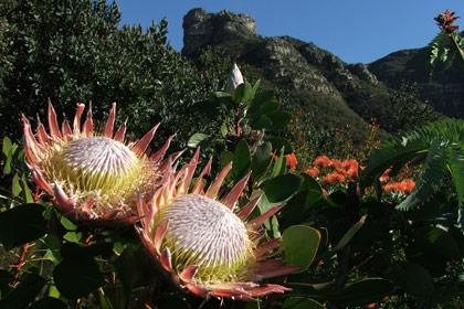 Cape Town Walks - Proteas