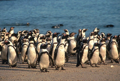 Penguin Colony at Robben Island, Cape Town
