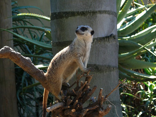 Meerkat at The World of Birds, Cape Town